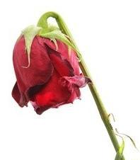 rose-fanee2